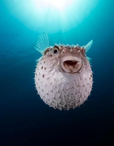 Balon balığı nedir, zararları nelerdir? İşte balon balığı zehri ve özellikleri