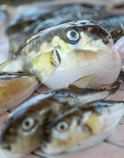 İstilacı balık türleri Akdeniz'e akın ediyor