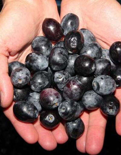 Sızma zeytinyağlarında toksin riski