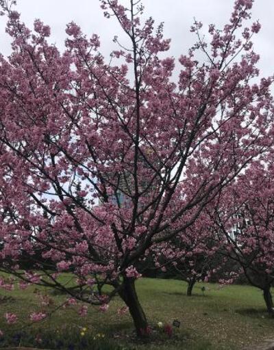 İstanbul'da sakura zamanı