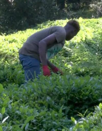 Uzmanlar Karadeniz'de çay göçü için uyardı