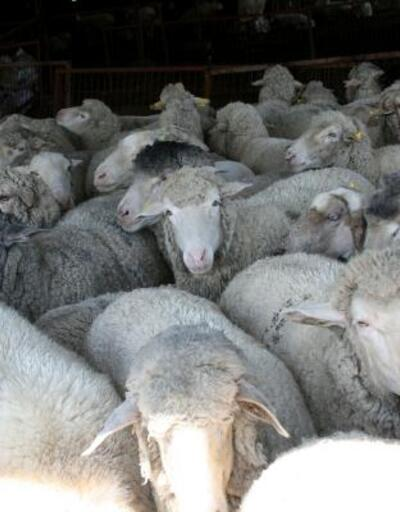 Koyun kırkımına başlayan üreticiler yapa fiyatlarına tepkili