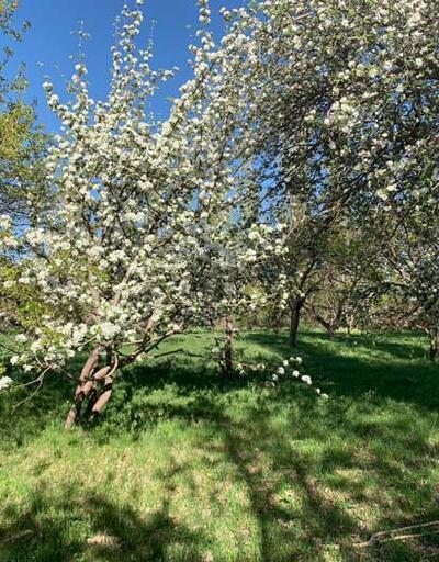"""Kars'ta tescilli """"uzun elma"""" ağaçları çiçek açmaya başladı"""
