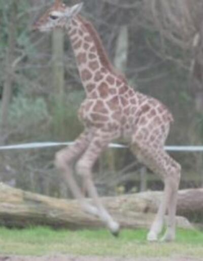 Zürafa çevresini keşfe çıktı
