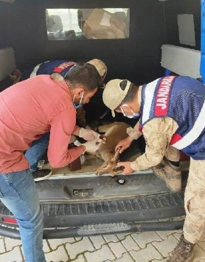 Gölete düşen dağ keçisi, jandarma tarafından kurtarıldı