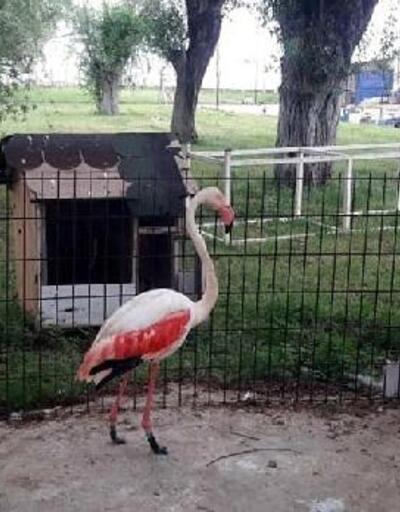 Yaralı flamingoya protez bacak yaptı