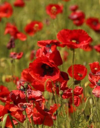 Görsel şölen! Kızılırmak Deltası ilkbaharda açan çiçeklerle renklendi