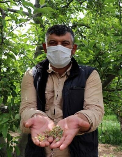 Kayseri'de elma ağaçları zarar gördü