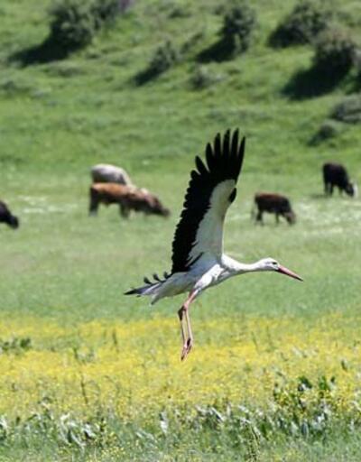 Muş Ovası, baharın gelmesiyle göç eden leylekleri ağırlamaya başladı