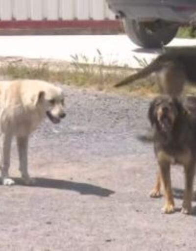 Başıboş köpek tedirginliği