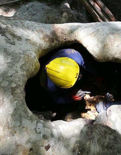 Trakya'da 111 anıt ağaç özel bakıma alındı