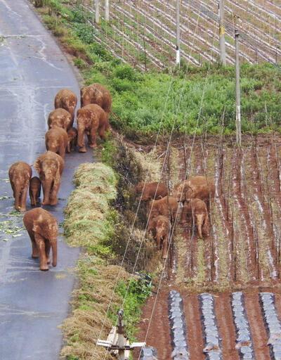 Fillerin gizemli göçü: 12 gün sonra ilk kez dinlendiler