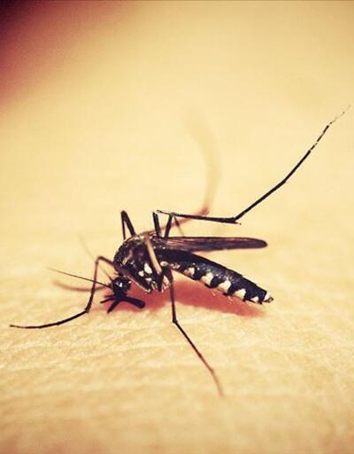 Öldürücü hastalığı sivrisinekle yendiler