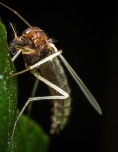 """ABD'de et yiyen parazit alarmı: """"Daha önce hiç görülmeyen bölgelerde ortaya çıkıyor"""""""
