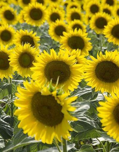 Muz, ayçiçeği, fıstıkta yeni vergi düzeni