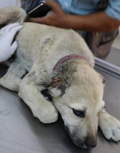 Yavru köpeğin kulaklarını kesip, ayağını kırdılar