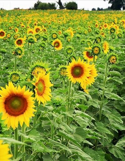 Trakya'da çiçeklenen 'Sarı gelin' farklı renk tonlarıyla büyülüyor