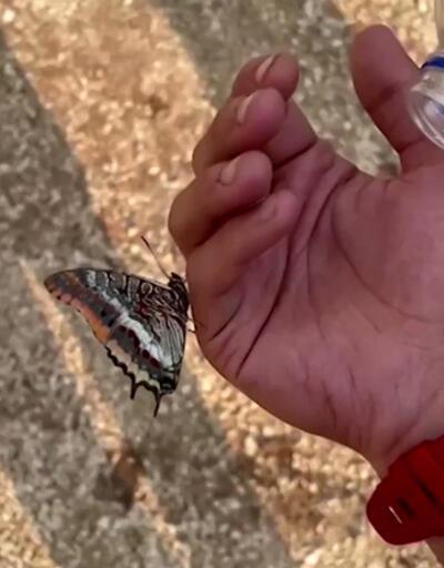 Dünyanın konuştuğu görüntüler: Kelebek görevlinin avucundan suyu böyle içti
