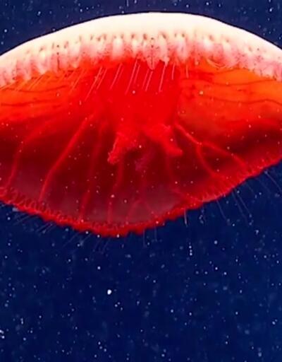 Kırmızı denizanası ilk kez görüntülendi
