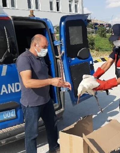 Jandarmanın bulduğu yaralı leylekler tedavi edildi