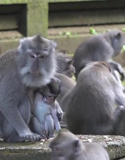 Aç kalan maymunlar şehri bastı