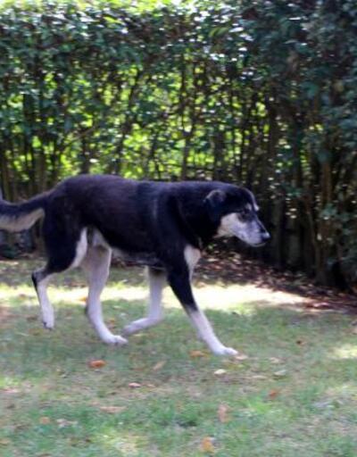Sarıyer'de otomobille yolda yatan köpeğin üzerinden geçti
