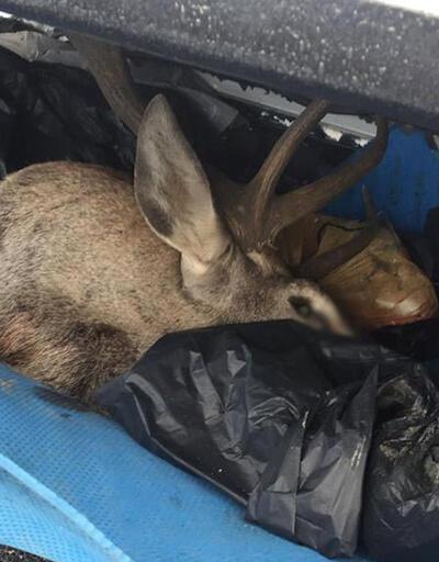Kaza yapan kamyonetten geyik çıktı