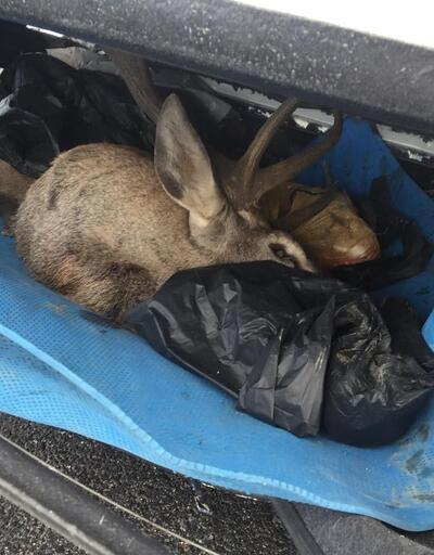 Kaza yaptıkları araçtan geyik çıkan 2 avcıya ceza yağacak