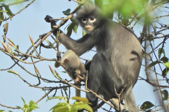Myanmar'da nesli tükenme tehdidinde olan yeni bir primat türü keşfedildi