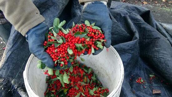 Aralık ve Ocak aylarında toplanıp ormana dikiliyor! Yaban hayatı için çok önemli