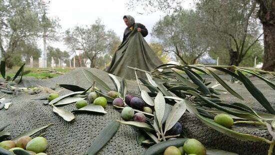 Türk hekimler araştırdı; Koronavirüs tedavisinde yeni umut! Zeytin yaprağı...