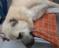 Kangal çoban köpeği 42 saçmayla yaralandı
