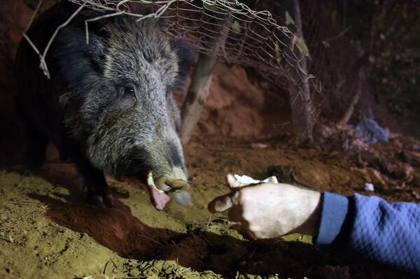 yaban domuzu Mustafa Atik ile ilgili görsel sonucu