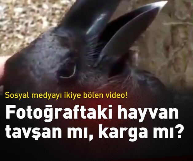 Son dakika: Tavşan mı yoksa karga mı?