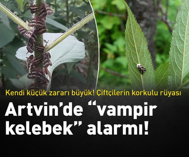 """Son dakika: Artvin'de """"Vampir kelebek"""" alarmı!"""
