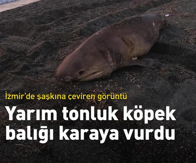 Son dakika: İzmir'de yarım tonluk köpek balığı karaya vurdu