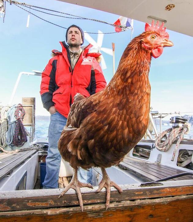 Dünya turu yapan tavuk