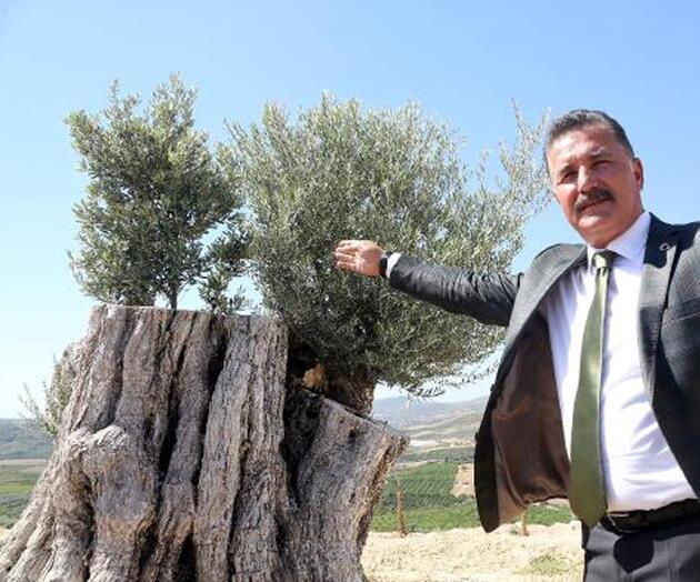 Kesilen 800 yıllık zeytin ağacı meyve verdi