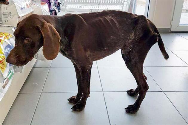 Ağaca zincirlenen köpek ölmesi için bırakıldı