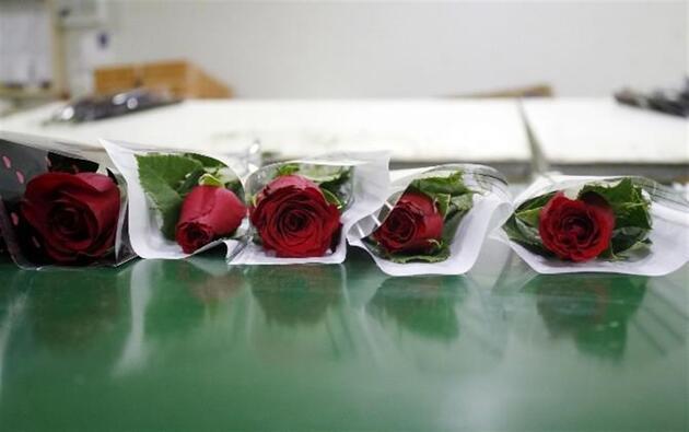 Antalya, Avrupa'ya 8 milyon dolarlık Sevgililer Günü çiçeği ihraç etti