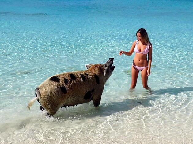 Meşhur Bahama domuzlarını turistlerin öldürdüğü iddia ediliyor