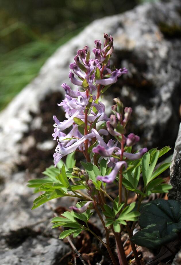 Küre Dağları'nda yeni endemik tür belirlendi