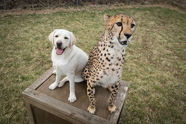 Utangaç çitalara köpek desteği