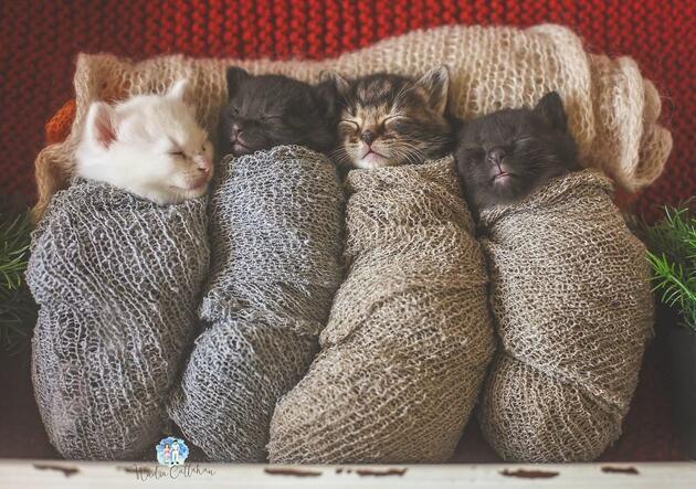 Bu kedileri dürüm sanabilirsiniz!