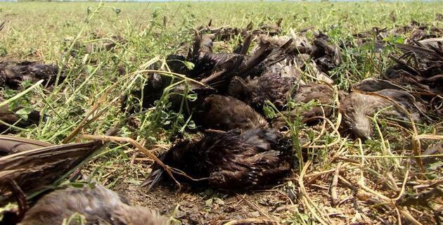 Ceviz büyüklüğündeki dolu yüzlerce kuşu öldürdü