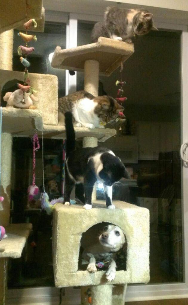 Bu köpekler kendilerini kedi sanıyorlar