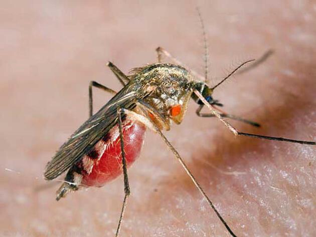 Yazın kabusu: Sivrisinek! İşte kurtulma yolları