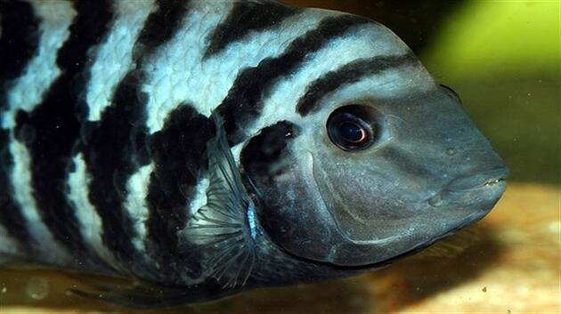 Zebra balığı Alzheimer için umut oldu