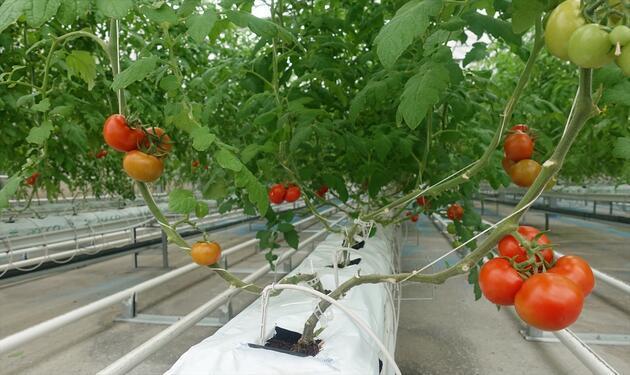 """İstanbul'da """"topraksız tarım"""" serası ilk ürünlerini verdi"""