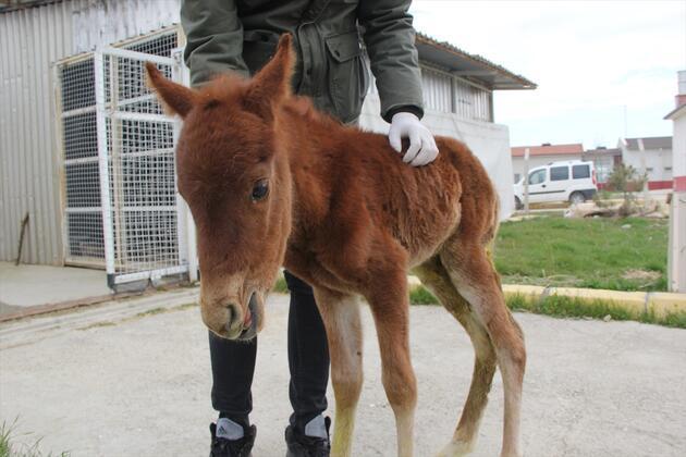 Yaralı yılkı atı yavrusu tedavi altına alındı